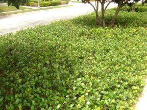 Florida ground cover