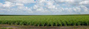 florida sugar cane