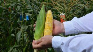 Florida sweet corn