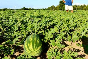 Florida Watermelon